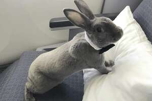 Photos of a rabbit named Coco are going viral after she experienced a particularly pampered flight from SFO to Japan.