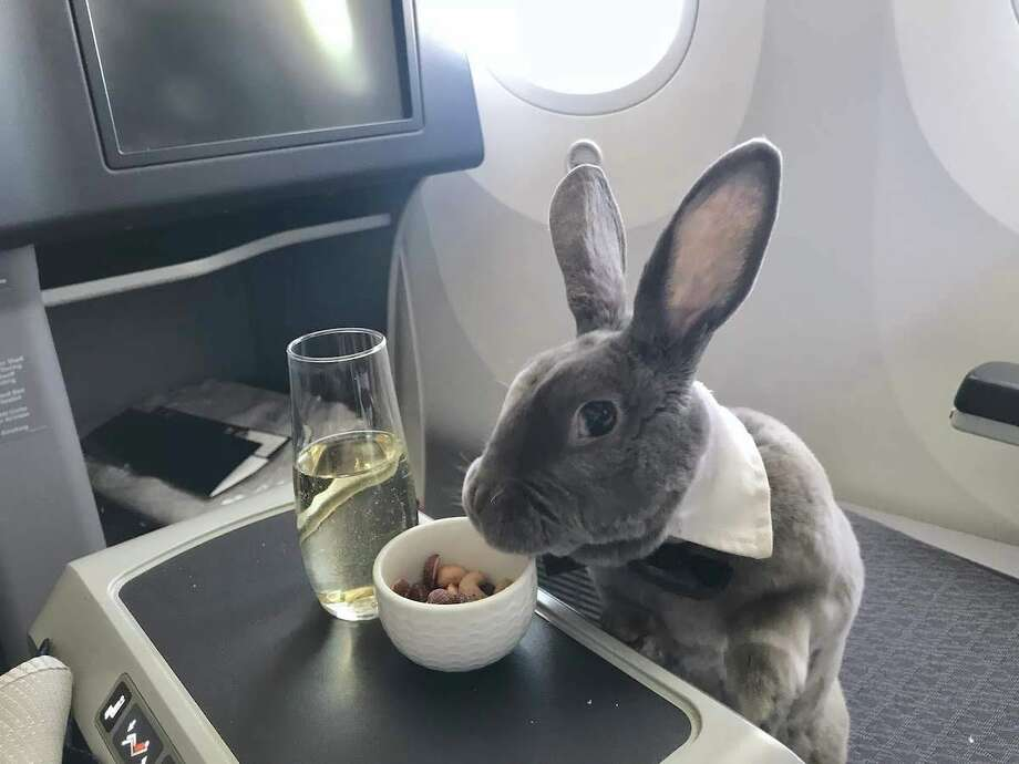 Photos of a rabbit named Coco are going viral after she experienced a particularly pampered flight from SFO to Japan. Photo: Takako Ogawa