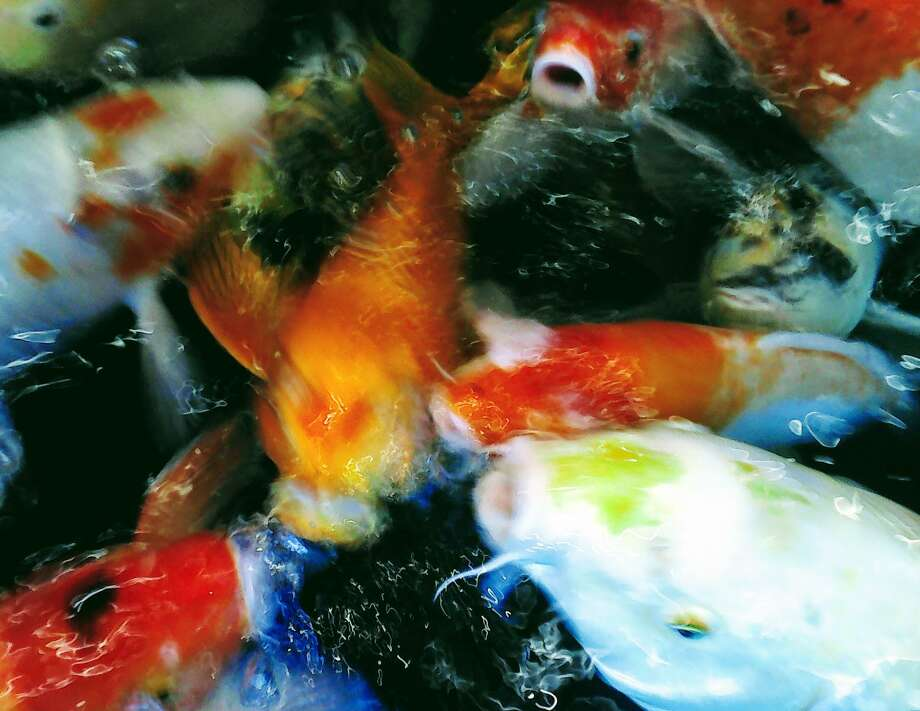 Amelia Yerenkova's photo Fish Show won third place in the youth division of the Focus '19 photo competition. Photo: Amelia Yerenkova / / Wilton Bulletin