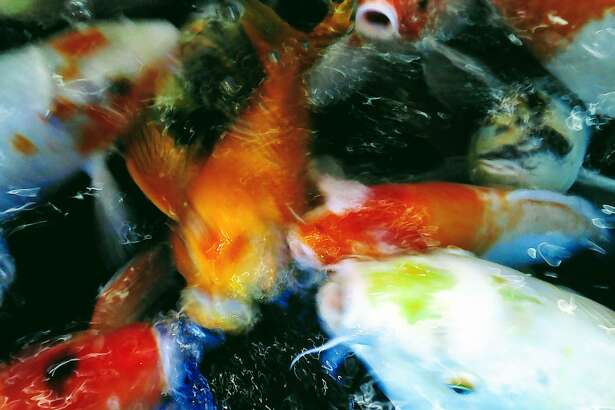 Amelia Yerenkova's photo Fish Show won third place in the youth division of the Focus '19 photo competition.