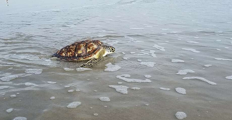 """Green sea turtle """"Beefcake"""" was released back into the Gulf after being rescued from a fishing line in Galveston earlier this month. Photo: Houston Zoo"""
