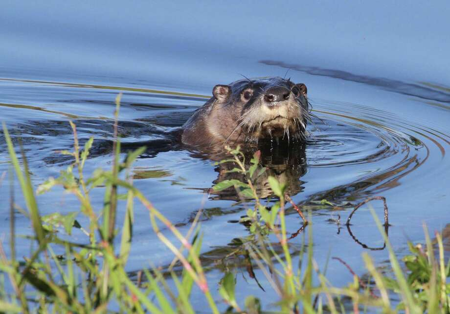 Encountering a Texas river otter, a rare experience outside a sliver of southeast Texas just a generation ago, has become more common as the aquatic mammals appear to be expanding their population and recolonizing much of their native range in the state. Photo: Shannon Tompkins / Houston Chronicle