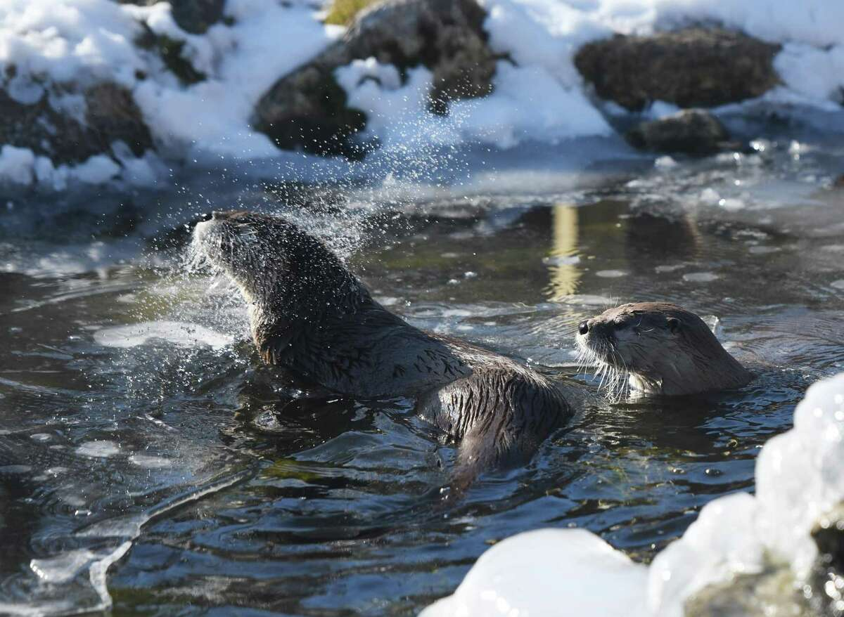 River otters shake off after swimming in the cold water during the WILDlife Wonders Break Out Day at Stamford Museum & Nature Center in Stamford, Conn. Monday, Jan. 20, 2020. A variety of programs celebrated the amazing diversity around the world while promoting the center's newest exhibit,