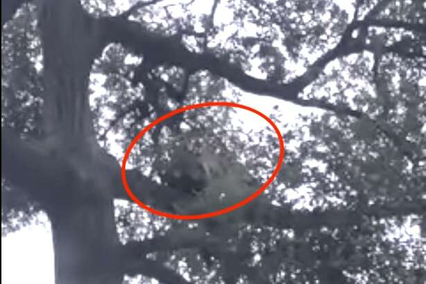 A screen capture taken by Orange County Outdoors of a mountain lion that attacked a child and ran up a tree after the father threw a backpack at it.