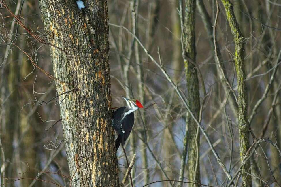 A woodpecker looks for food along the banks of the Mohawk River on Tuesday, Jan. 21, 2020, in Niskayuna, N.Y. (Paul Buckowski/Times Union)