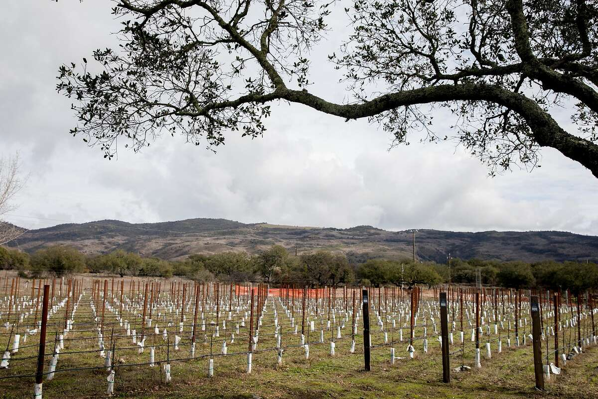 New grapevines sit in a low pasture on the site of Sill Family Vineyards in Napa, Calif. Friday, Jan. 17, 2020.
