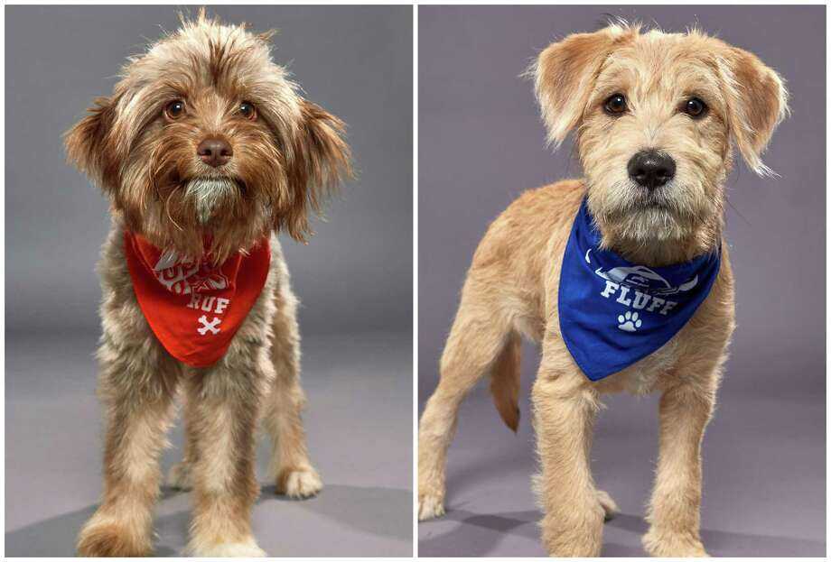 Strudel, left, and Papaya, right, will represent Houston in this year's Puppy Bowl. Photo: Animal Planet / Keith Barraclough