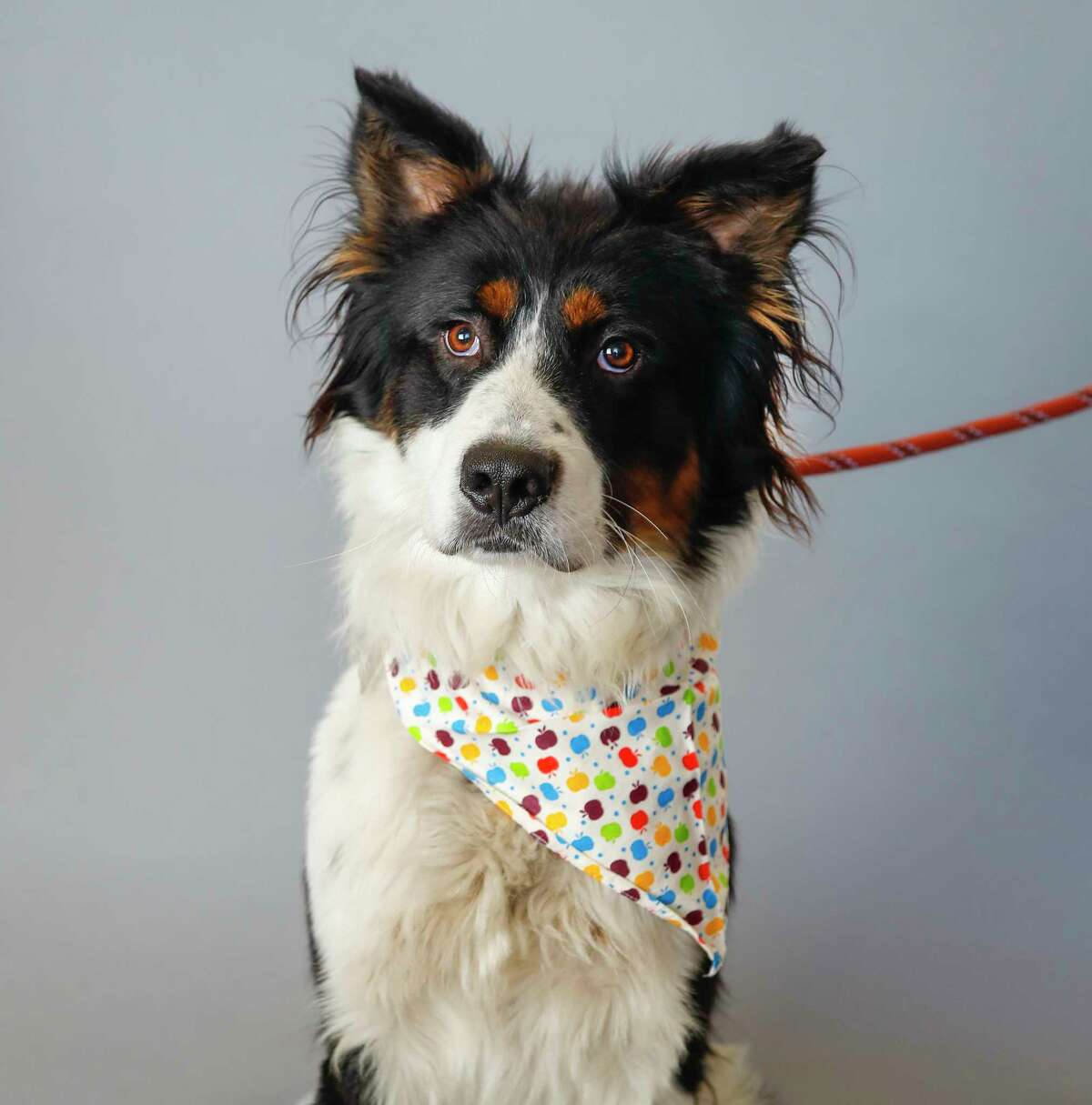 Travis (A1673037) is a 3-year-old, male, tricolor Border Collie/Austrailian Shepherd mix available for adoption from the BARC Animal Shelter, in Houston, Tuesday, Jan. 21, 2020. Travis is such a sweet boy! He loves attention and knows how to sit. His kennel card says he is