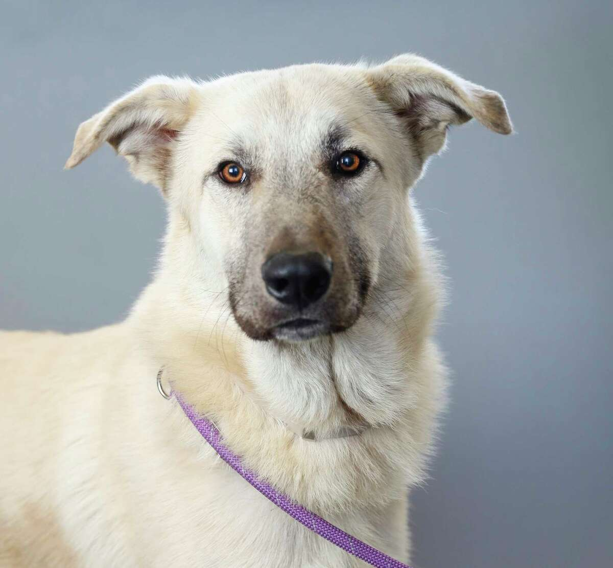 Zeus (A1674307) is a 1-year-old, male, Anatol Shepherd mix available for adoption from the BARC Animal Shelter, in Houston, Tuesday, Jan. 21, 2020. Zeus is a big boy, who thinks he's a tiny puppy. Full of energy and handsome!
