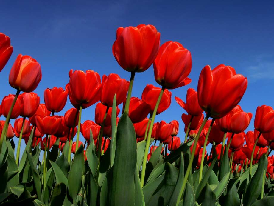Texas-Tulips is opening its first field in San Antonio Thursday. Photo: Getty Images