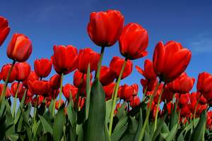 Texas-Tulips is opening their first field in San Antonio Thursday.