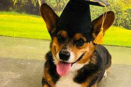 Gus is a 4-year-old Pembroke Welsh Corgi who could be the official social/emotional support animal at Winona ISD.