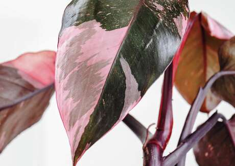 """A current Instagram favorite is the """"Pink Princess"""" philodendron, a houseplant that has pink and dark green leaves."""