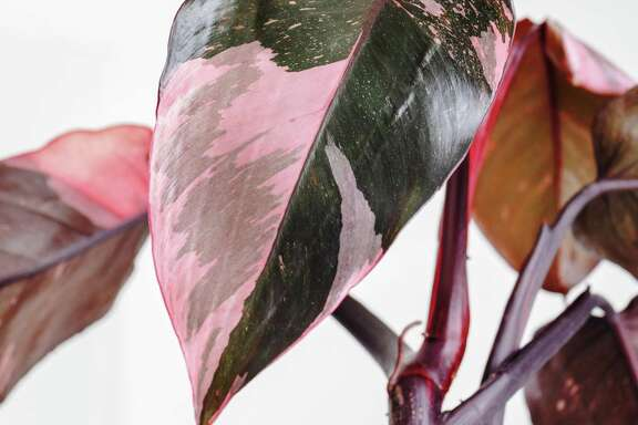 "A current Instagram favorite is the ""Pink Princess"" philodendron, a houseplant that has pink and dark green leaves."