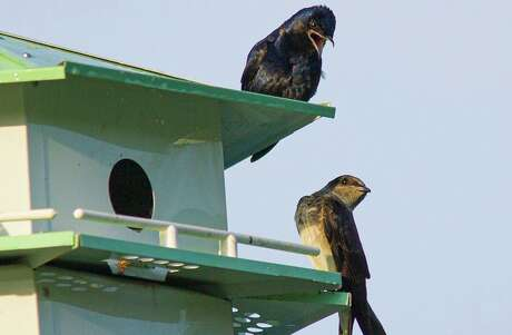 Purple martins are the largest North American swallow. They will be returning to our area and nesting in specially designed houses. Photo Credit: