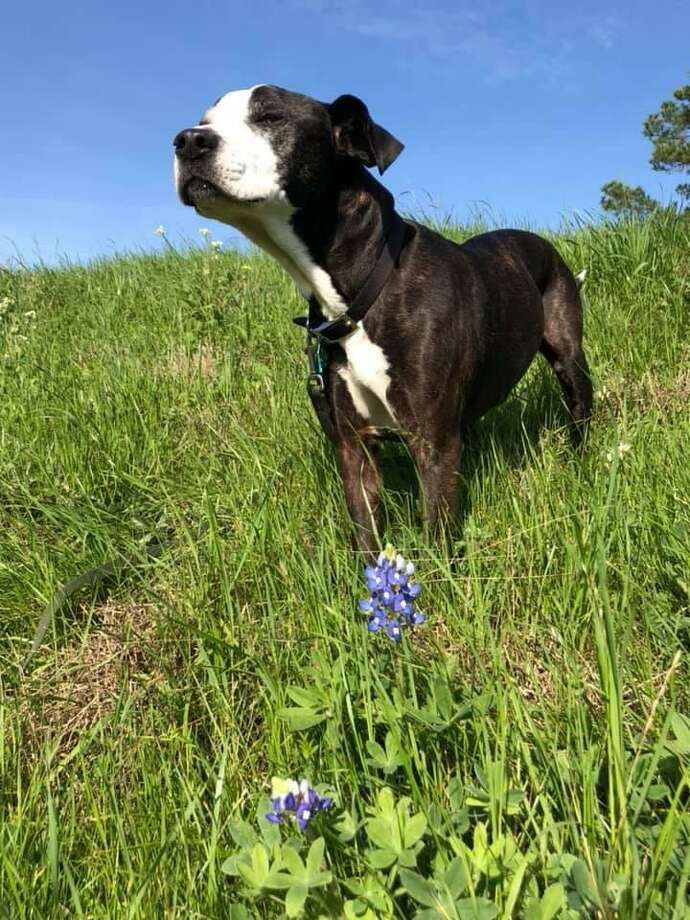 Walking White Oak Bayou with her dog Sugar (pictured here) on Tuesday, Jan. 21, Garden Oaks resident Mary Nunnelly finds two bluebonnets that had made a mid-winter showing. Photo: Courtesy Photo By Mary Nunnelly