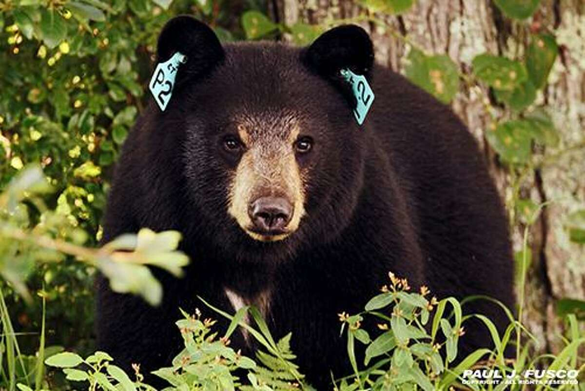 Black bears are commonly seen in many areas of Connecticut.