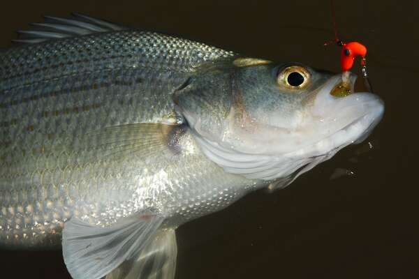 White Bass Spawning Run The Super Bowl Of Texas Angling Houstonchronicle Com