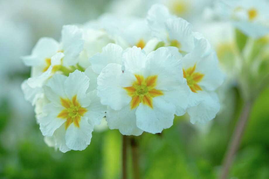 White primrose Photo: ImageJournal-Photography / Getty Images / Paul Bate