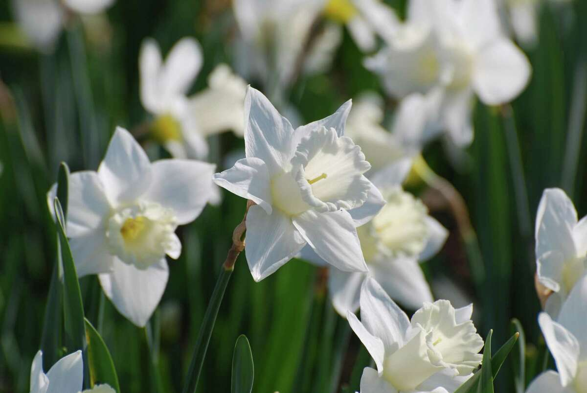 Paper-white narcissus in bloom. (Dreamstime/TNS)