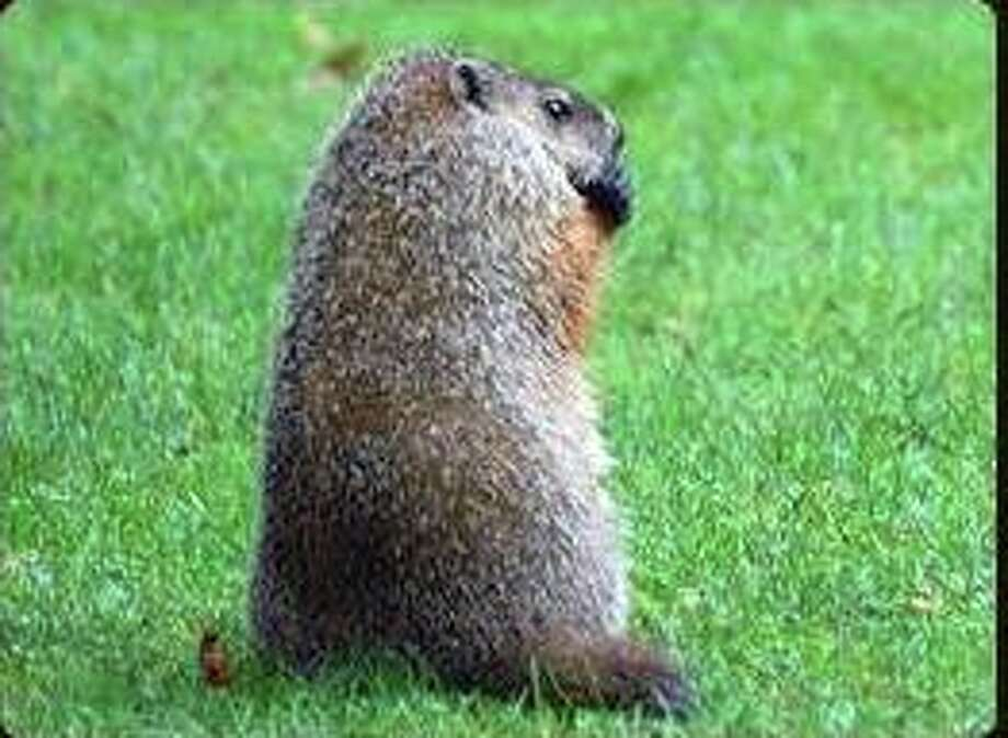 Whether you call them goundhogs, woodchucks or whistle pigs, their big day is Feb. 2. The Wilton Historical Society has a program for kids on how this holiday came about. Photo: Contributed Photo / Contributed Photo / Greenwich Time Contributed