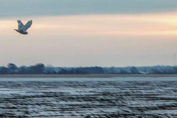 A snowy owl takes flight after leaving its perch atop a telephone pole on Sebewaing Road near Owendale Jan. 23. (Scott Nunn/Huron Daily Tribune)