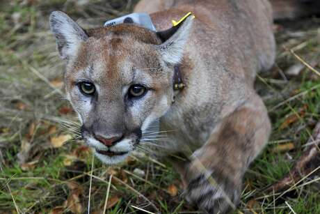 This photo provided by the U.S. National Park Service shows a mountain lion, newly dubbed P-79 with a new tracking collar, following its capture in a Simi Valley, Calif., neighborhood early Thursday, Dec. 12, 2019. Officials said it wasn't the big cat that killed a resident's dog and injured another pet last week in the same suburb. The male lion was tranquilized and outfitted with a tracking collar that scientists will use to study the animal as part of an ongoing research project on the big cats, National Park Service spokeswoman Ana Beatriz Cholo said. (National Park Service via AP)