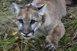 This photo provided by the U.S. National Park Service shows a mountain lion, newly dubbed P-79 with a new tracking collar, following its capture in a Simi Valley, Calif., neighborhood early Thursday, Dec. 12, 2019. Officials said it wasn't the big cat that killed a resident's dog and injured other pet last week in the same suburb. The male lion was tranquilized and outfitted with a tracking collar that scientists will use to study the animal as part of an ongoing research project on the big cats, National Park Service spokeswoman Ana Beatriz Cholo said. (National Park Service via AP)