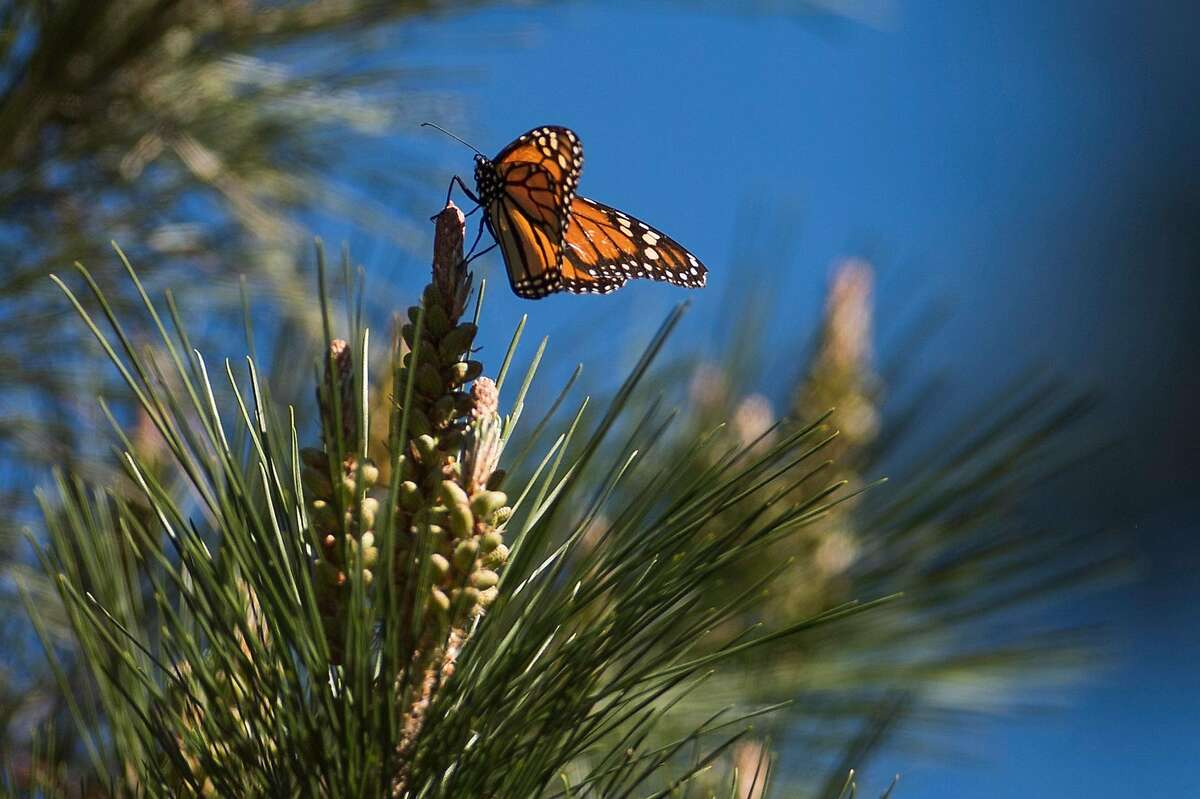 A butterfly flutters through the trees at the Monarch Butterfly Sanctuary in Pacific Grove, Calif. on Jan. 23, 2020.