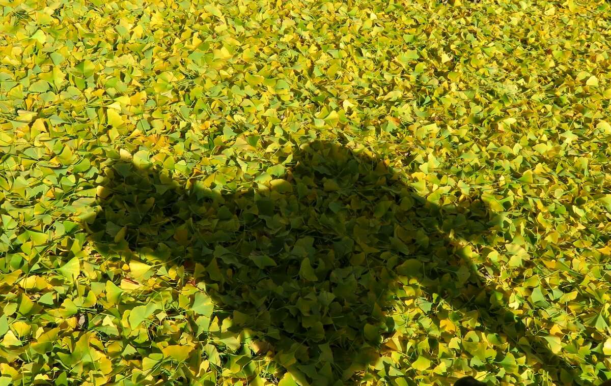 The shadow of Rocky the dog, on a bed or freshly fallen gingko leaves. (Herb Terns / Times Union)