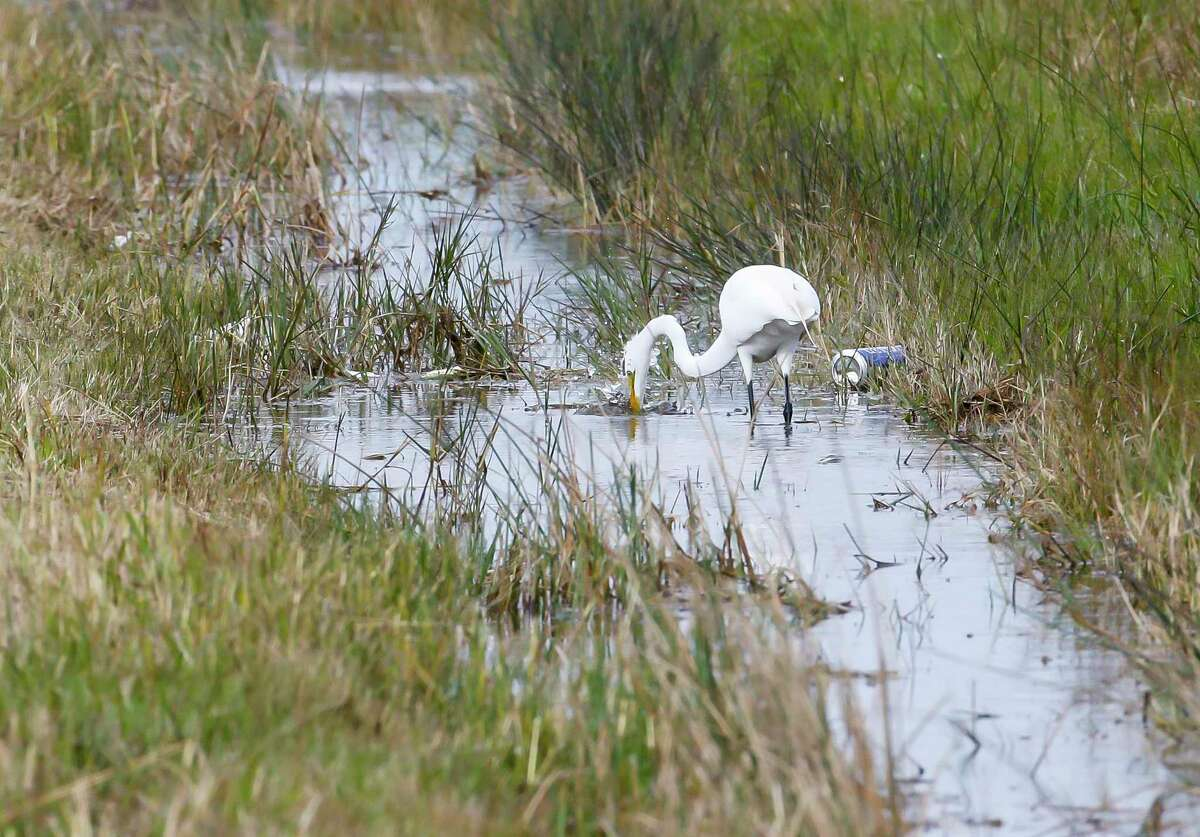 """An egret hunts in a ditch adjacent to an area designated as a prairie pothole, Thursday, Jan. 23, 2020, along Highway 146 in San Leon. Obama administration-era clean water rules that helped protect areas such as """"prairie potholes"""" are being rolled back this week under the Trump administration."""