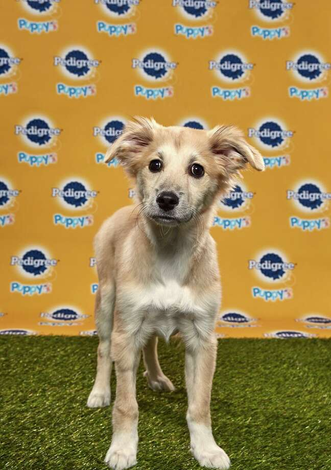 Starla will be playing for Team Ruff at the Puppy Bowl on Feb. 2. The show will air on Animal Planet at 3 p.m. Starla is a rescue from the Danbury Animal Welfare Society. Photo: Animal Planet / Contributed Photo