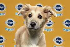Starla will be playing for Team Ruff at the Puppy Bowl on Feb. 2. The show will air on Animal Planet at 3 p.m. Starla is a rescue from the Danbury Animal Welfare Society.