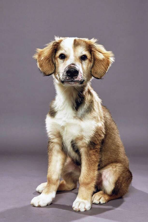 Floofer is a puppy from the Danbury Animal Welfare Society who will be playing second string at the Puppy Bowl on Feb. 2. Photo: Animal Planet/ Contributed Photo