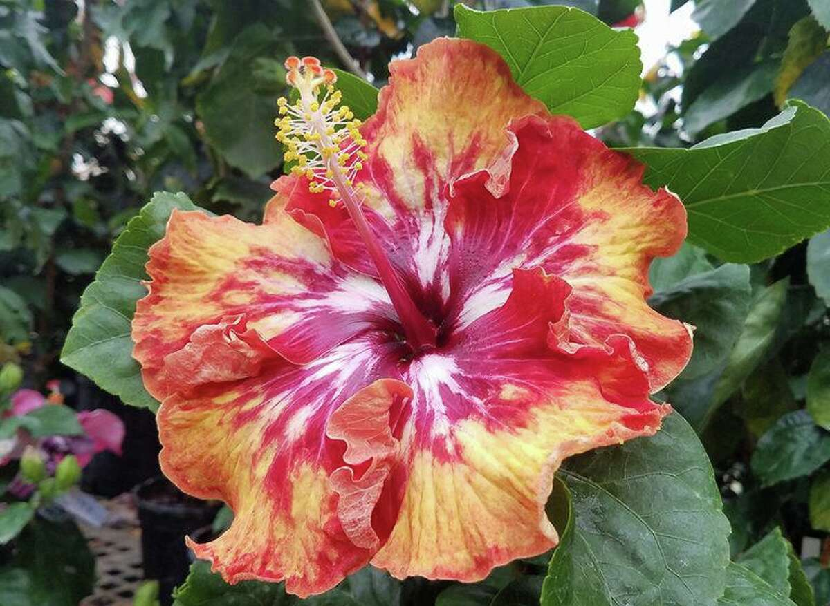 A new unnamed tropical hibiscus variety.