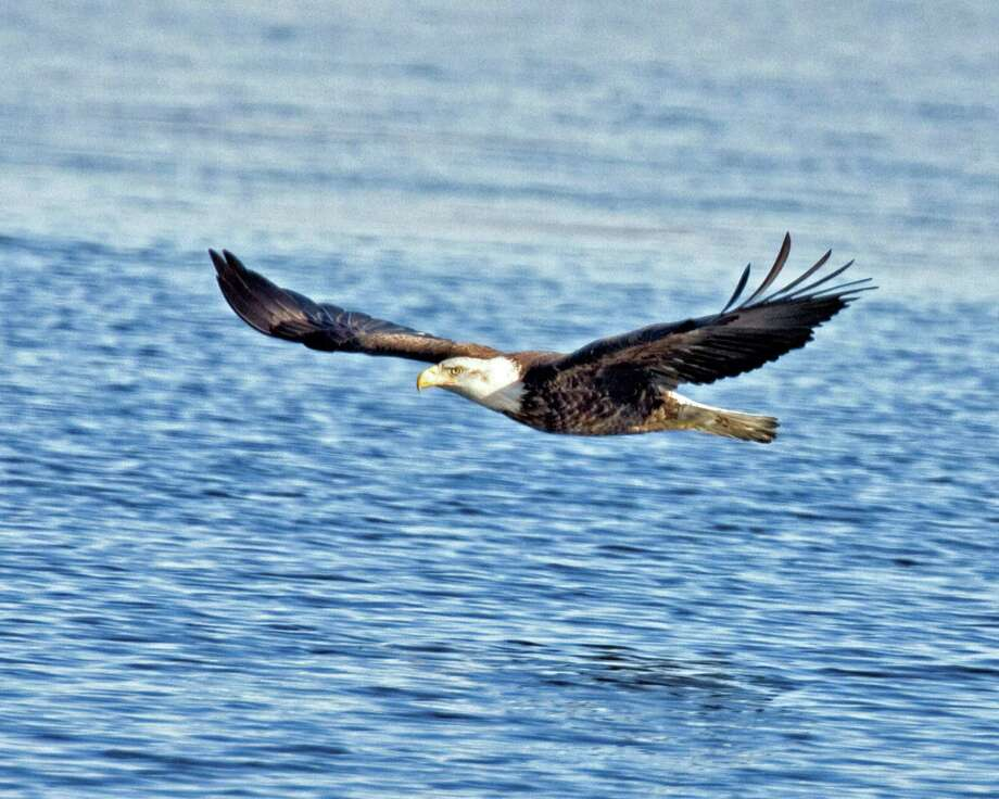 Bald Eagles make their way down the Connecticut River from Canada every winter in search of ice-free fishing. Photo: Contributed