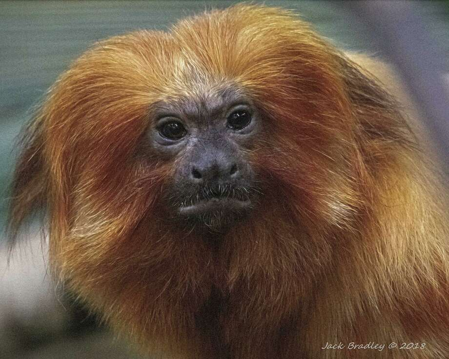 Golden lion tamarin Photo: Jack Bradley / Contributed Photo / Jack Bradley © 2018