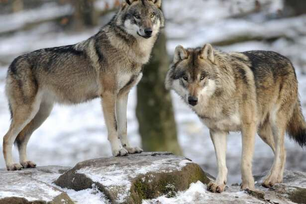Environmental and wildlife groups hold out hope that the grey wolf can be someday be restored in New York.