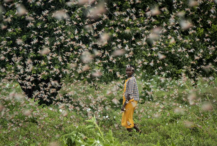 A farmer watches swarms of desert locusts feeding on her crops in Kitui County, Kenya. Hundreds of millions of the insects have also destroyed farmland in Somalia and Ethiopia. Photo: Ben Curtis / Associated Press