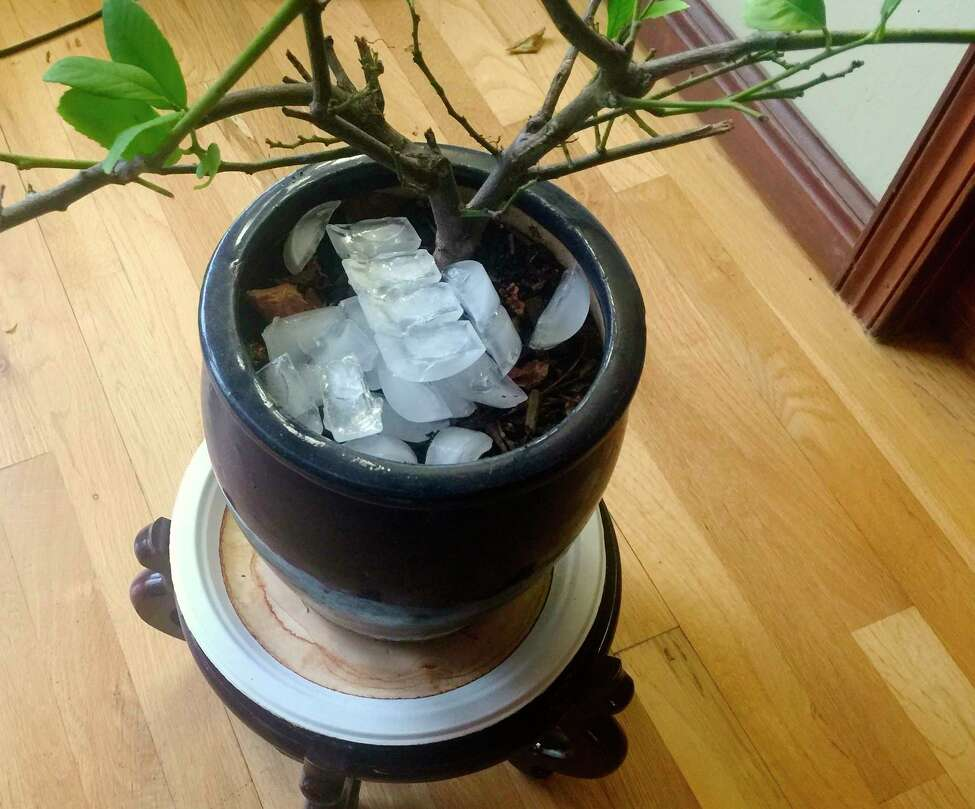 Be careful not to overwater houseplants, like this lemon tree photographed Dec. 26, 2019, growing inside a home near Langley, Wash. Plants lose oxygen when they get too much water, especially the roots, and will drown. Ice cubes melt slowly and are easy to use when watering a large collection of houseplants. (Dean Fosdick via AP)