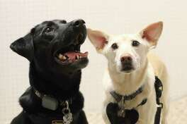 Watson, left, and Raylan listen to recordings at the Canine Language Perception Lab at the University of Maryland. Because dogs typically respond better to speech-in-noise than infants, dog experiments using their names can provide important clues about what may be going on in babies.