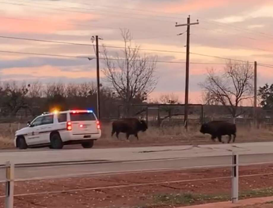 """""""To everyone who has ever asked if there are Buffalo around Buffalo Gap..."""" Photo: Danielle Robertson/Facebook"""