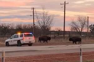 """""""To everyone who has ever asked if there are Buffalo around Buffalo Gap..."""""""