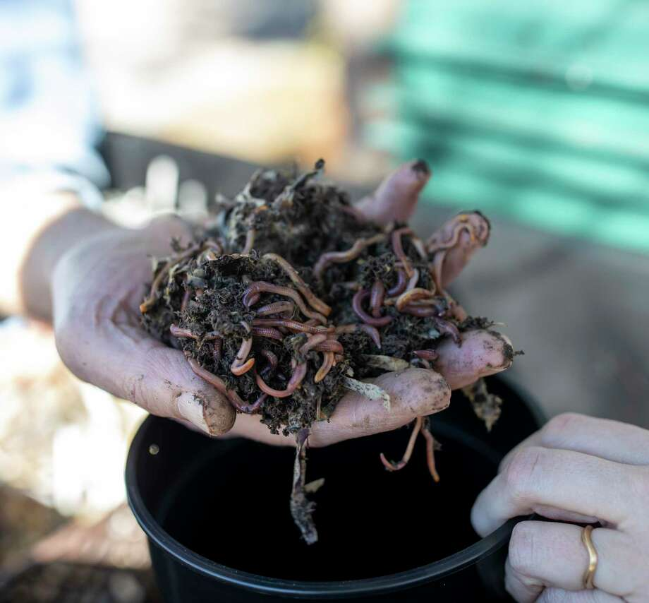 A handful of worms are placed in a compost bucket. Photo: File / Houston Chronicle