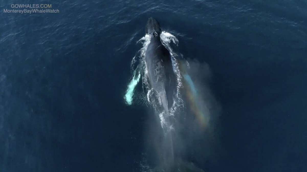A humpback whale seen in Monterey Bay on Jan. 23, 2020.