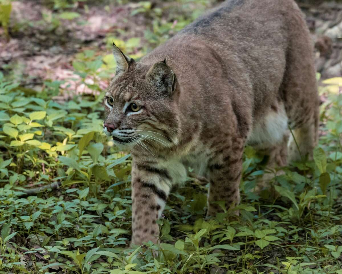 Bobcats in Stone Oak. Don't get them confused with big cats.