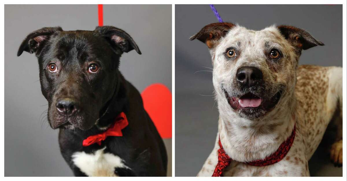 Colby (left, A548849) is a 1-year-old, male, black/white Labrador retriever mix and Lucky (right, A548918) is a 2-year-old, male, red merle Australian Cattle Dog mix. They are available for adoption from the Harris County Animal Shelter, Tuesday, Jan. 28, 2020, in Houston. Colby was surrendered by his owner, who was not the original owner. Colby's previous owners abandoned him at the current owner's residence a month ago, and he has been caring for the dog ever since, but is not able to continue caring for him. He says that Colby is a very friendly dog, who is housebroken and has a