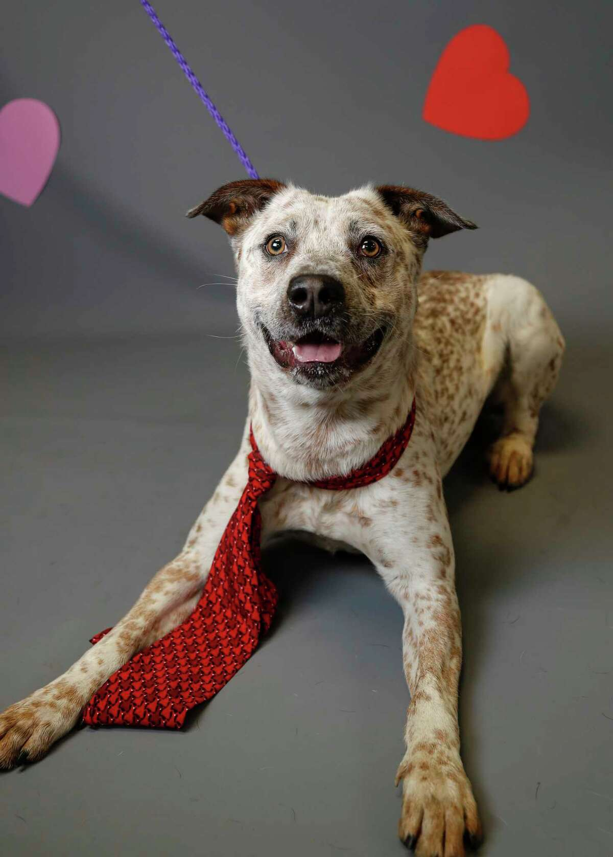 Lucky (A548918) is a 2-year-old, male, red merle Australian Cattle Dog mix available for adoption from the Harris County Animal Shelter, Tuesday, Jan. 28, 2020, in Houston. Lucky is a smart fellow. He knows the