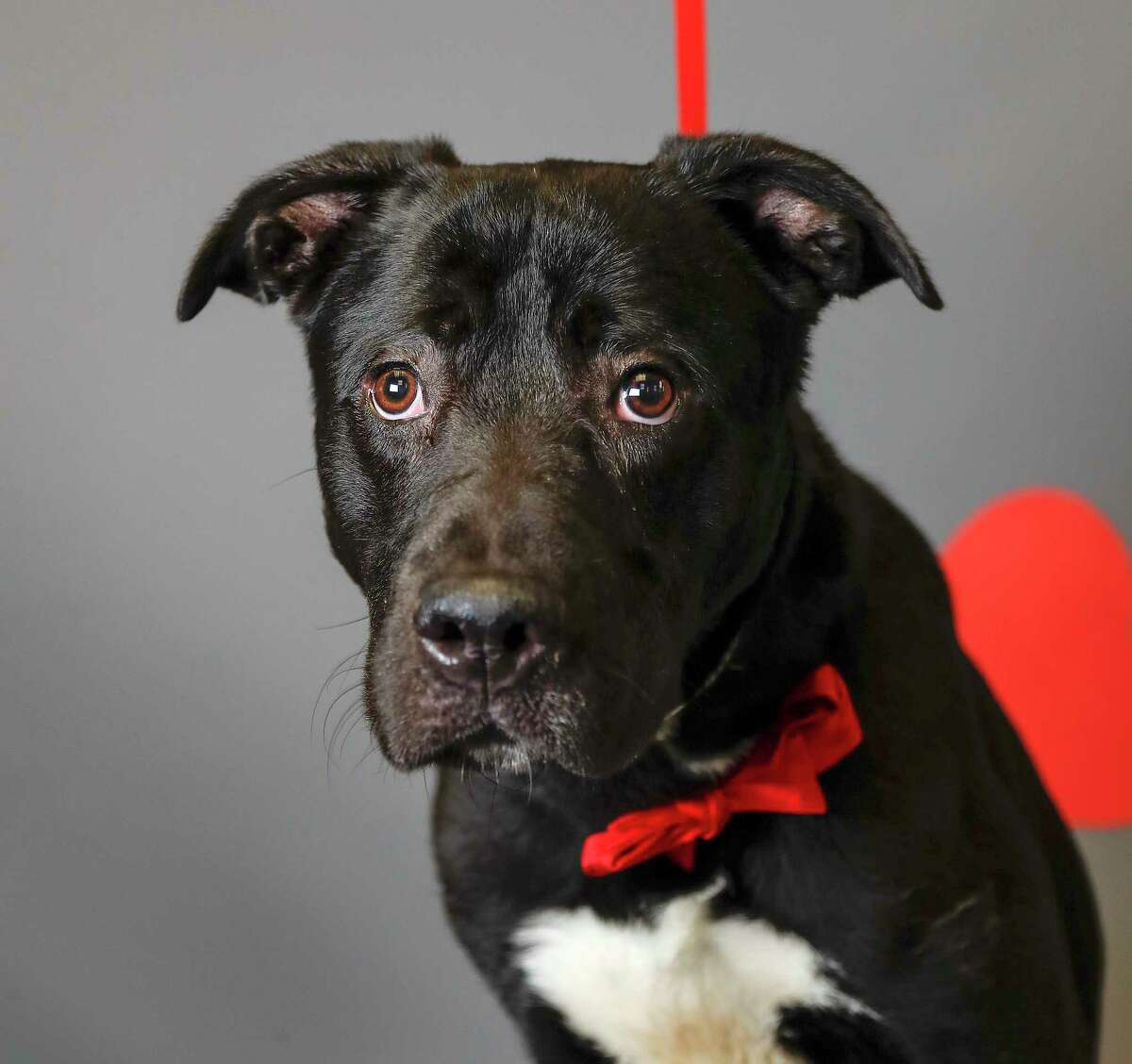 Colby (A548849) is a 1year-old, male, black/white Labrador retriever mix available for adoption from the Harris County Animal Shelter, Tuesday, Jan. 28, 2020, in Houston. Colby was surrendered by his owner, who was not the original owner. Colby's previous owners abandoned him at the current owner's residence a month ago, and he has been caring for the dog ever since, but is not able to continue caring for him. He says that Colby is a very friendly dog, who is housebroken and has a