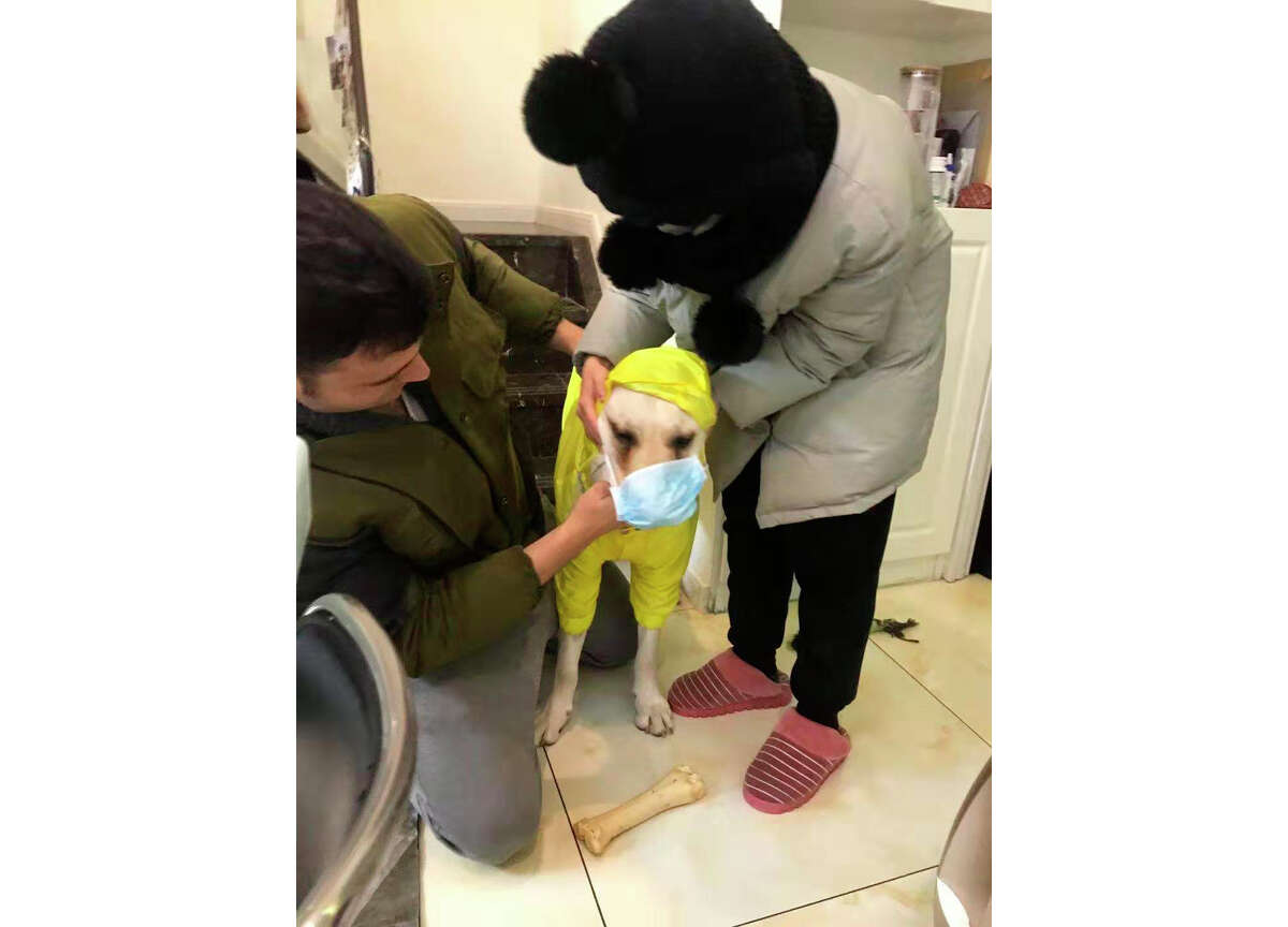 In this Jan. 26, 2020, photo, Doug Perez and his girlfriend outfit their Labrador, Chubby, with a face mask before going out for a walk in Wuhan, China. As hundreds of Americans prepare to evacuate Wuhan, the central Chinese city at the heart of a new virus outbreak that has killed over 100, Perez, a San Francisco native, is staying behind. He says he can't leave behind his Chinese girlfriend or his dog and plans to ride out the epidemic. (Doug Perez via AP)
